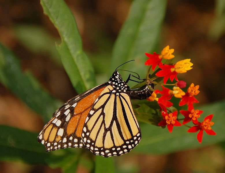 Monarch butterfly Danaus plexippus laying eggs