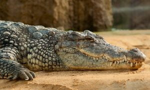 nile-crocodile-245013_640