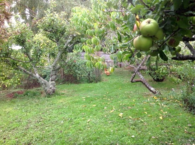 Our new orchard with (already) resident chook