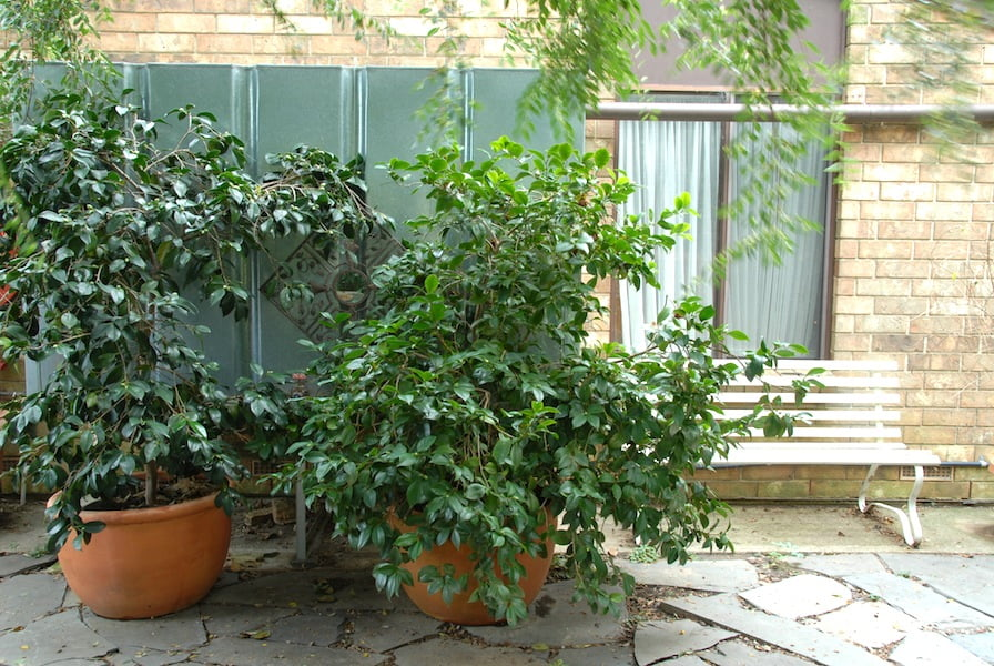Potted camellias