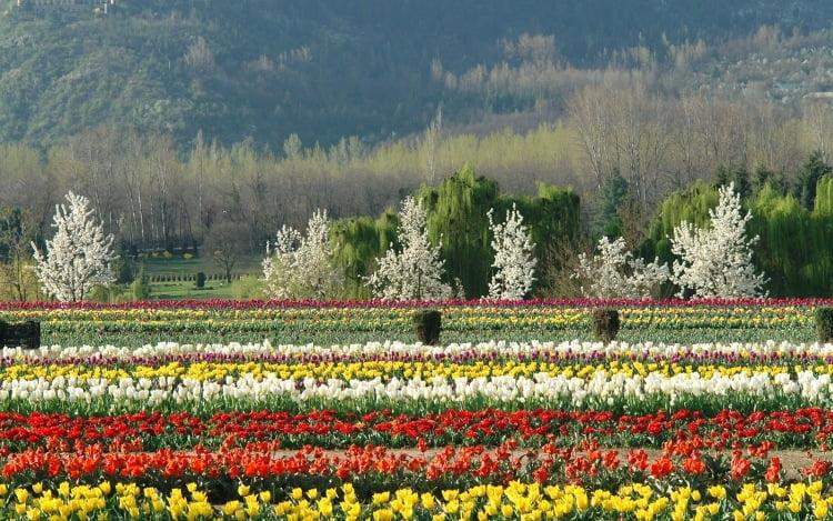 Asia 39 s best spring bulbs at srinagar india gardendrum for Garden design fest 2014