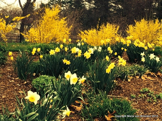 Yellow and White Daffodils add cheer and hope
