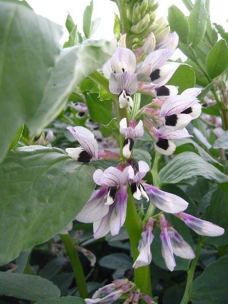 Broad bean flowers. Photo Paul Dixon