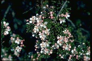Boronia anemonifolia subsp. variabilis Photo D. Greig