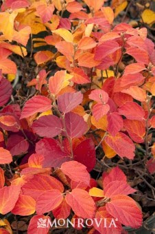 Fothergilla fall foliage color ©Monrovia