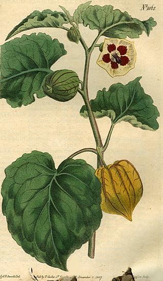 Physalis.peruviana.edulis