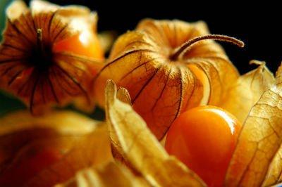 Physalis peruviana ripe fruit