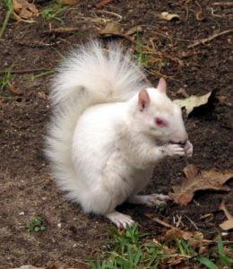 The albino squirrel