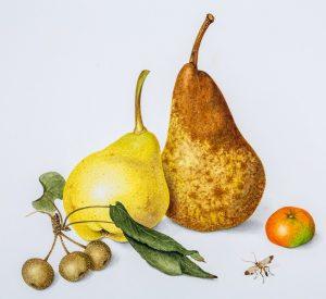 Botanica 2014, Annie Hughes, Pyrus communis x 3, Citrus hystrix, Beurre Bosc, William Bartlett, Manchurian pear rootstock, Indonesian lime