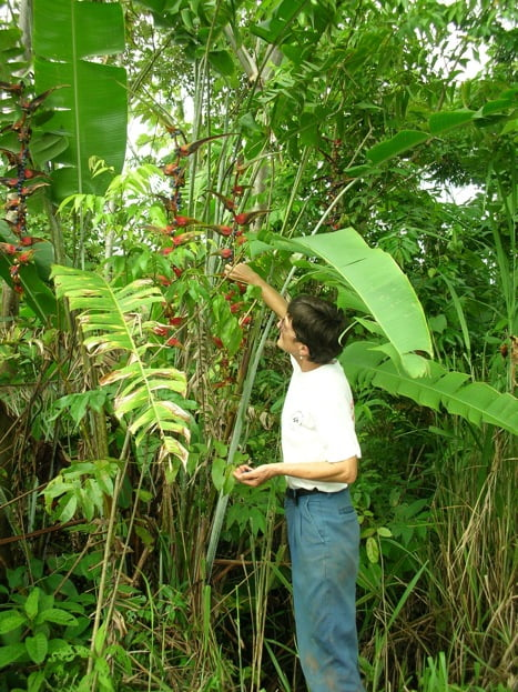 Grabbing seeds of wild Heliconia platystachys