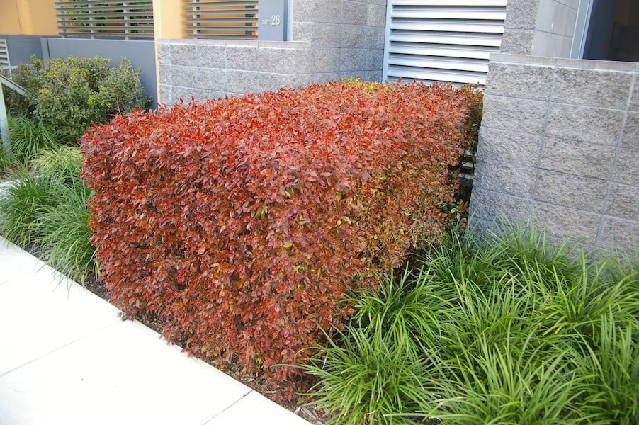 Acalypha wilkesiana 'Compacta' is a popular hedging plant