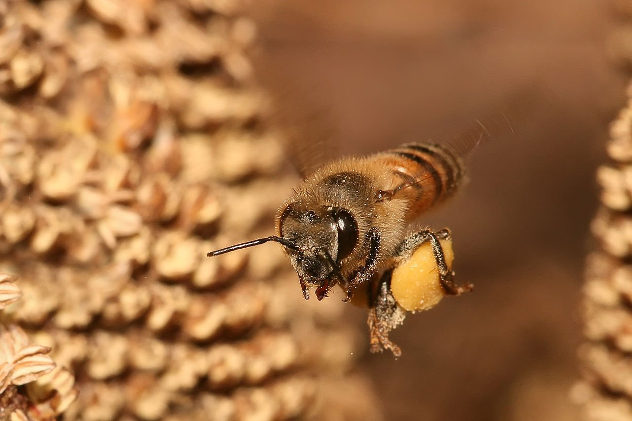 Apis mellifera flying with pollen. Photo Muhammad Mahdi Karim