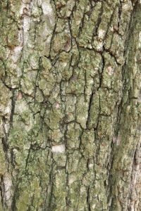 Bark of Ulmus x hollandica with shallower fissures