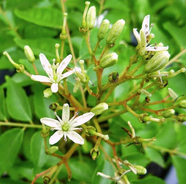 Curry Leaf tree flower