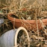 Dead-plant-in-pots-Photo-vetcw3-e1404043925891
