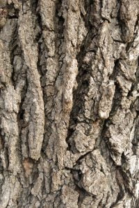 Deep fissures in the bark of Ulmus procera, English elm