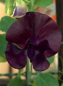 Lathyrus odoratus 'Almost Black'
