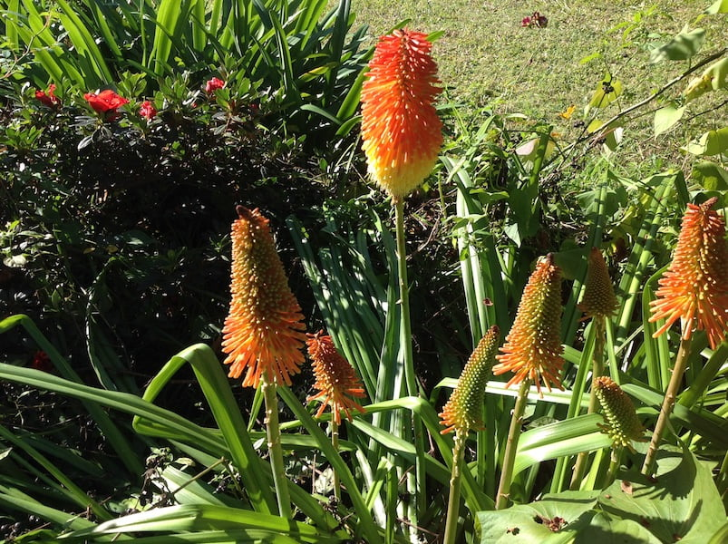 Red hot pokers in my garden