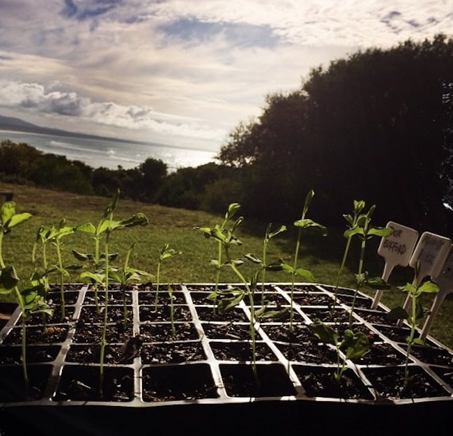 Sweet Pea seedlings in coastal sun
