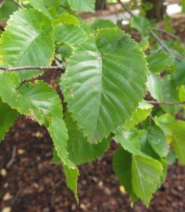 Leaves of English elm, Ulmus procera
