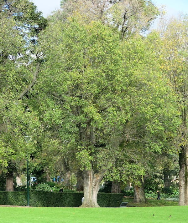 English elm, Ulmus procera, has a more dense crown than Ulmus x hollandica