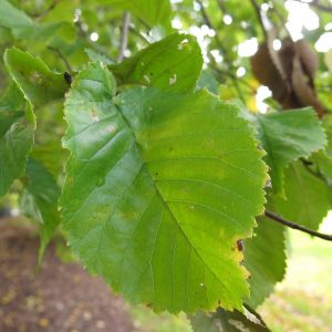 Leaf on Ulmus x hollandica, Dutch elm