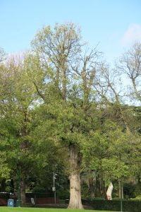Dutch elm, Ulmus x hollandica, has a more open crown than Ulmus procera