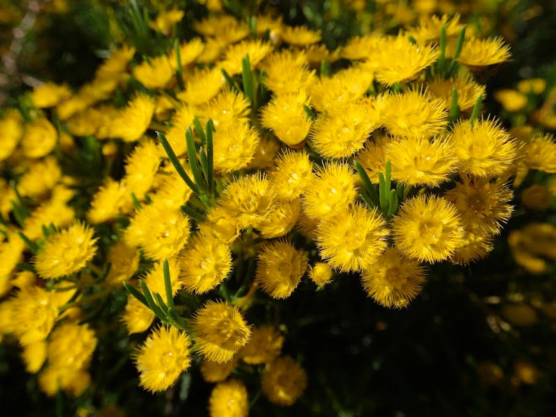 Verticordia chrysantha (yellow feather flower)