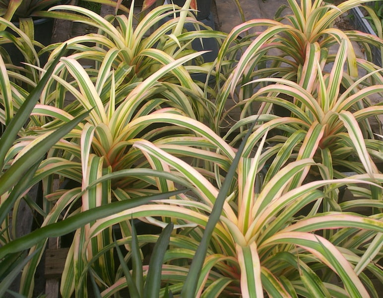 Ananas comosus 'Ivory' has ornamental white banded leaves