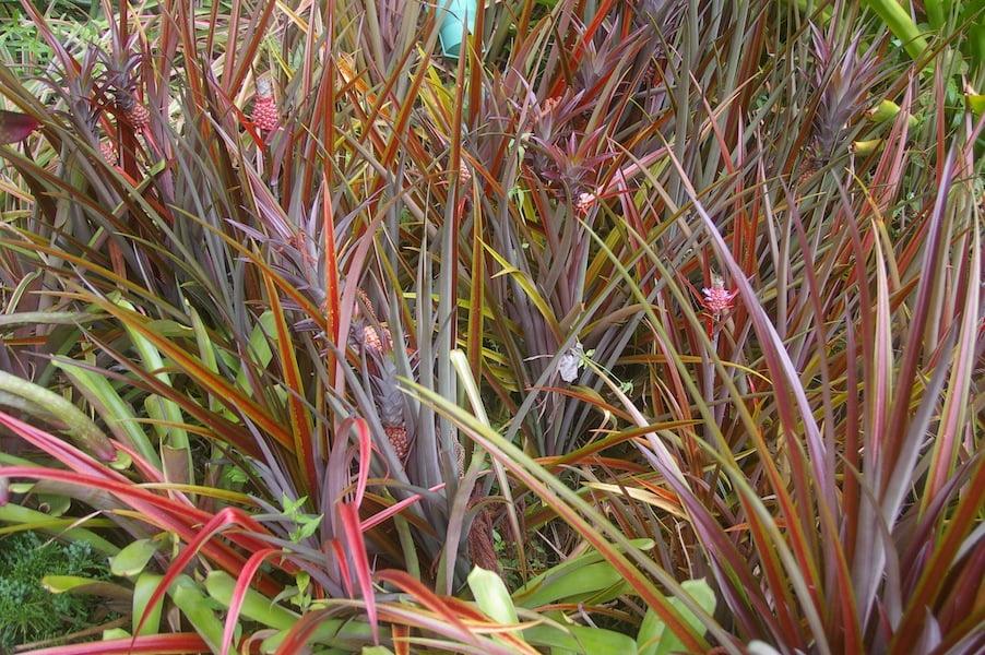 Use pineapples for foliage too - Ananas comosus var. erectifolius 'Chocolat' mass planted for effect