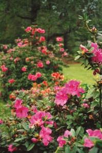 Azalea Autumn Royalty
