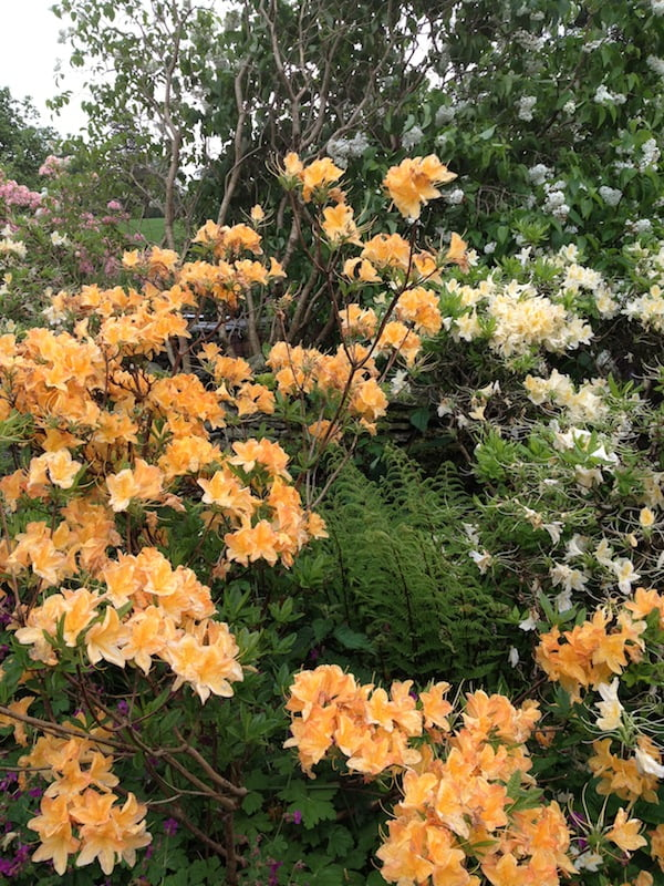 Mollis azaleas in Beatrix Potter's garden