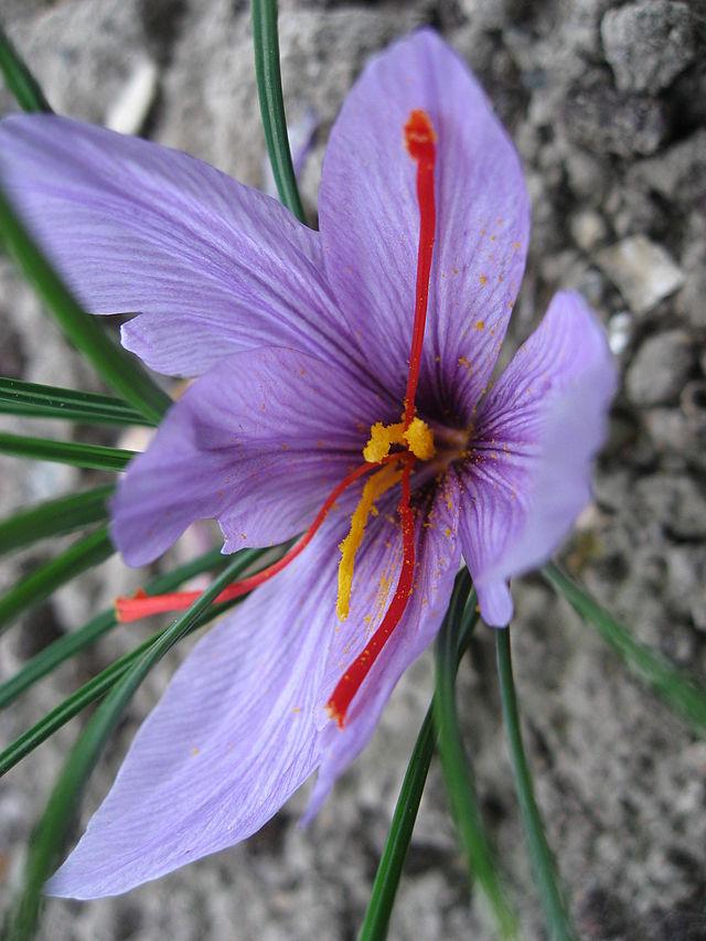 Crocus sativus Photo by Line1