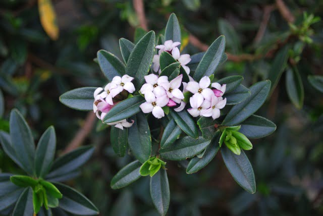 Pretty, scented and very poisonous Daphne
