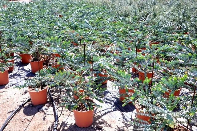 Eucalyptus 'Little Boy Blue' in Spain