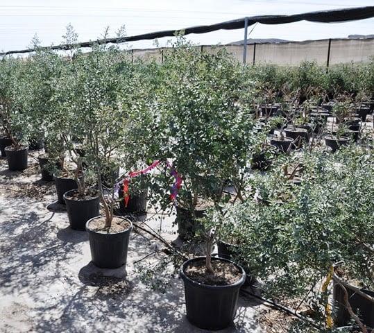 Eucalyptus gunnii in Spain
