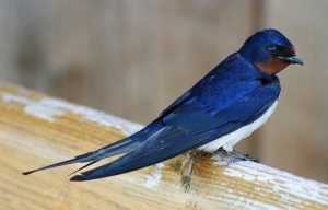 Barn swallow. Photo Malene Thyssen