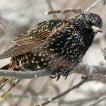 European starling. Photo Brent Eades