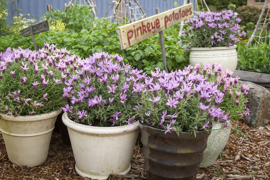 Add lavenders to your vegie path to bring in the pollinators, like Lavender Ruffles