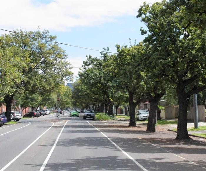 Quercus robur English oak) as a street tree. Photo James Beattie