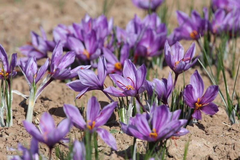 Saffron_farm_in_Bardeskan_(2)