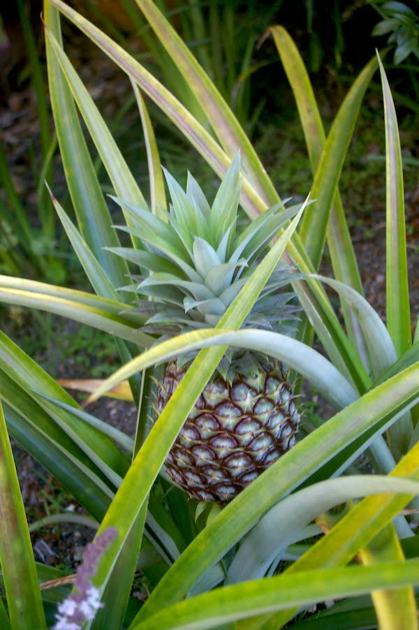 The popular Ananas comosus 'Smooth Cayenne' in fruit