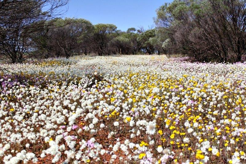 Everlastings_Mullewa_Aug 2014
