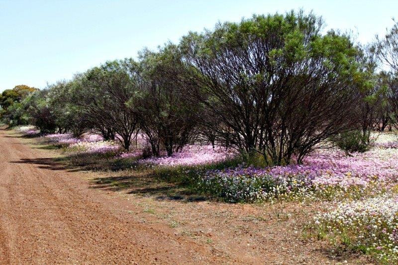 Everlastings_Mullewa_Aug 2014_2