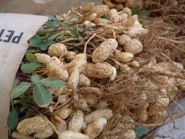 Harvested peanuts. Photo by Bre Not the Cheese