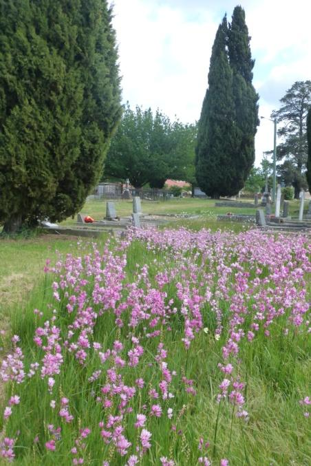 Ixias (corn lilies) from the Cape, lighting up Christ Church yard, Longford between cypresses. That Reverend again?