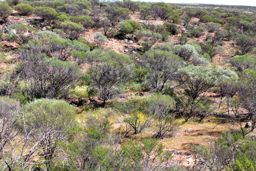 Mullewa bush with hints of golden everlastings