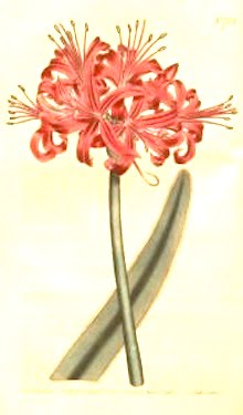Nerine curvifolia (now N. sarniensis), Guernsey lily Curtis' The Botanical Magazine or Flower Garden Displayed Cape bulbs like this were select 'novelties' and are still valued