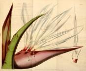Strelitzia alba (syn. S.augusta) Giant bird-of-paradise flower (South Africa, again!) Curtis' The Botanical Magazine