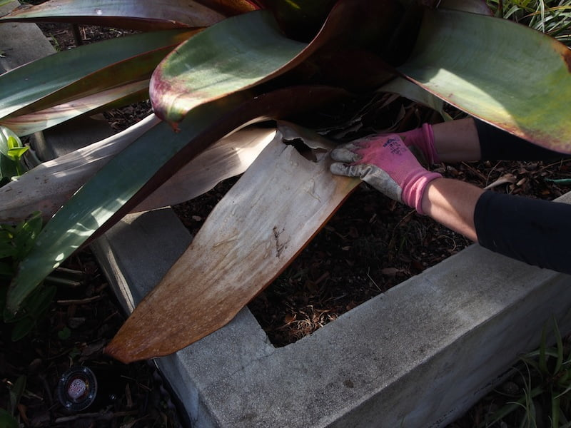 Tear or cut away dead Alcantarea leaves
